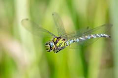 Southern Hawker (Gareth Keevil) Tags: autumn dragonfly garethkeevil hawker inflight nikon nikond500 reedbed smallbrookmeadows southernhawker sunshine telephoto uk warminster wild wiltshire wiltshirewildlifetrust