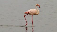 auf langen Beinen (marionkaminski) Tags: namibia afrika africa panasonic lumixfz1000 flamingo flamenco bird oiseau parajo tier animal animali dieren walvisbay swakopmund