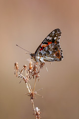 Beautiful september (Unicorn.mod) Tags: 2018 colors nature macro september autumn butterfly insect canoneos6d canon canonef70200mmf28lisiiusm ef70200mmf28lisiiusmextentder2xiii