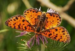 Spotted Fritillary. Melitaea didyma occidentalis (gailhampshire) Tags: spotted fritillary melitaea didyma taxonomy:trinomial=spottedfritillarymelitaeadidymaoccidentalis albania lepidoptera explored