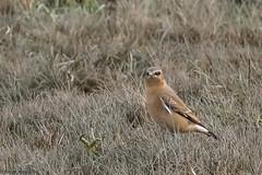 Wheatear at RSPB Frampton Marsh (Cerdic Elesing) Tags: wheatear wetland framptonmarsh england birds lincolnshire rspb marshland polaroidhighdefinition200 xequals