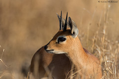 Steenbok ram (leendert3) Tags: leonmolenaar southafrica krugernationalpark wildlife nature mammals steenbok naturethroughthelens ngc