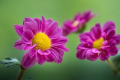 chrysanthemum 5027 (junjiaoyama) Tags: japan flower plant chrysanthemum mum pink autumn fall macro bokeh