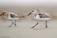 Sanderling (Gregory Lis) Tags: sanderling calidrisalba gorylis gregorylis nikond810 washingtonstate nikon bird shorebird