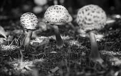 Champs (Svendborgphoto) Tags: nikkor nikon nature nikondigital nikkorais monochrome manualfocus micronikkor bokeh blackandwhite bw blur denmark d800 dof detail 105mm ais 10528