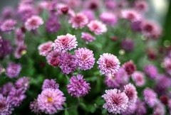 Fuzz (Svendborgphoto) Tags: flowers f14 nikkor nikkorais nikon nature bokeh blur d800 dof ais 35mm14 closeup