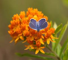 Karner Melissa Blue Butterfly and Butterfly Weed (vischerferry) Tags: milkweed butterflyweed wildflower melissablue karnerbluebutterfly pinebarrens newyorkstate orangewildflower insect lycaeidesmelissa
