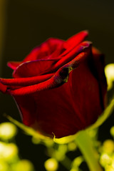 Hey bud... How are you? (C² Clif) Tags: rose red love desire wife smooth flower roses
