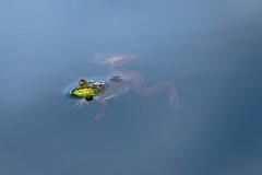 suspended animation (captured views) Tags: frog nature capturedviews capturingthelivinglandscape greenfrog coth5