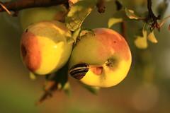 IMG_7217 In the morning (MariuszWicik) Tags: macro canoneos5dmarkii lens apples view image polish poland polska eu europe morning