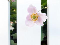 Hello Visitor :-) (Rosmarie Voegtli) Tags: fence lines flower summer arlesheim smileonsaturday fancyfence white