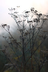 (decemberGirl.) Tags: umbelliferae apiaceae morning 50mm nature dewdrops spidersilk spiderweb