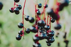 forbidden fruit    l  2018 (weddelbrooklyn) Tags: herbst beeren strauch sträucher natur 35mm nikon d5200 autumn shrub shrubbery nature berry