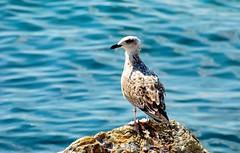 "Seagull.. (ICE DESERT "" Ahmed "") Tags: seagulls sea seagull bird birds rock water blue kuşlar martı deniz nikon d7000 نورس طير طيور بحر نايكون"