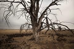 Deadtree 2018 (SkylerBrown) Tags: baretrees california dead deadtree drought field landscape nature overcast summer tree