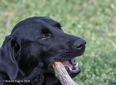 Seven-month-old Hanna - - Venago Campground, Kanopolis Lake, KS/05 (Ron Thill) Tags: 2018 hanna ks kanopolislake kansas may dog pets