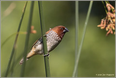 Scaly-breasted Munia 2018 (maguire33@verizon.net) Tags: frankgbonelliregionalpark nutmegmannikin scalybreastedmunia spicefinch bird nonnative sandimas california unitedstates us