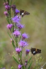 Silver-spotted Skipper (pchgorman) Tags: silverspottedskipper epargyreusclarus taxonomy:binomial=epargyreusclarus epargyreus roughblazingstar liatrisaspera taxonomy:binomial=liatrisaspera liatris pyrginae asteraceae schluckebierprairie saukcounty wisconsin august prairies flowers insects butterflies