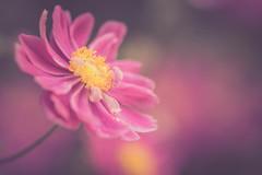 Anemone (michel1276) Tags: zuikomacro zuikomacro9020 olympus macro makro vintagelens manualfocus oldlens bokeh bokehlicious flower blume anemone herbstanemone
