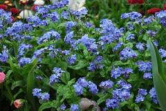 After raining..forget-me-not. (natureflower) Tags: forget me flowers purple raining after green leaves luzern garden lucerne droplets