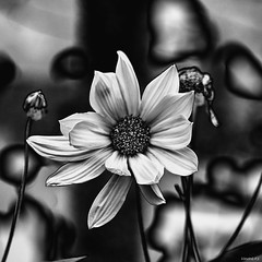 Marguerite (vostok 91) Tags: vostok91 canon canonef70300mmf456isusm eos40d bw blackandwhite noiretblanc nb nature fleur flower manray solarisation