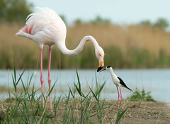 Friends (Mary Bassani) Tags: flamingo fenicottero flamengo cavaliere blackwingedstilt cigüeñuela aves birds bird camargue canonphotographer naturaleza nature wildlife naturewildlife wild