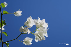 Show me the way to autumn... (Κώστας Καϊσίδης) Tags: bougainvillea greeksummer summerday summer sky sunlight sunny white blue blossoms greece hellas visitgreece plant nature ngc
