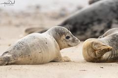 Seal Pup (AndyNeal) Tags: wildlife nature seal seals beach sand sea horseygap horsey sealpup pup