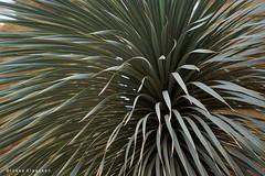 Fireworks! (Ineke Klaassen) Tags: plant plants planten nature natur natuur natuurfotografie naturephotography fireworks green flora floral burgerszoo burgers park parks closeup 1025fav 20favs 20fav 20faves 300views nederland zoo dierentuin sonyalpha6000 sonyilce6000 sonyalpha sonya6000 yucca