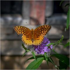 Great Spangled Fritillary (Summerside90) Tags: butterflies insects greatspangledfritillary august summer backyard garden nature wildlife ontario canada