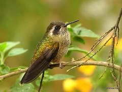 Speckled Hummingbird, Adelomyia melanogenys (Ecuador Megadiverso) Tags: andreaskay bird birdwatcherslodge colibri ecuador hummingbird mindo trochilidae speckledhummingbird adelomyiamelanogenys