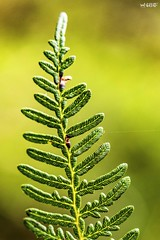 Forest Fern-iture (red stilletto) Tags: gippsland toorongofalls forest plant plants fern ferns macro famousflickrfive