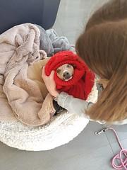 20180910_164731 (JeebyJeebs) Tags: italiangreyhounds italiangreyhound greyhound greyhounds iggy iggies iggydog
