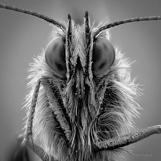 SW Portrait eines Westlichen Scheckenfalter (Melitaea parthenoides)