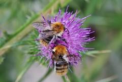 Hummel (Hugo von Schreck) Tags: hugovonschreck fantasticnature macro makro insect insekt hummel tamron28300mmf3563divcpzda010 canoneos5dsr