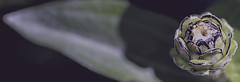 Immutable (Vanessa wuz Here) Tags: 90mm macro flora flowers 7dwf shadows autumn fall budding buds devon devoniangarden universityofalbertabotanicalgarden alberta matte copyrightvanessabartosek