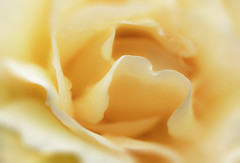 255/365: Living the dream (judi may) Tags: 365the2018edition 3652018 day255365 12sep18 macro rose flower petals yellow orange depthoffield dof bokeh 100xthe2018edition 100x2018 image66100 monochrome mono soft softness dreamy