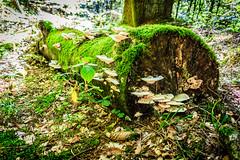 In the Forrest (Dr. Gonzo78) Tags: natur rheinlandpfalz baum baumstamm holz wood gras kaiserslautern wald laub moos erde zunderschwamm