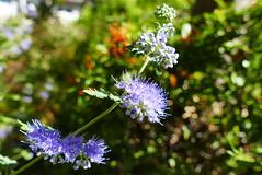 Bluebeard (ivlys) Tags: darmstadt garten minigarden blume flower bartblume bluebeard caryopteris natur nature ivlys