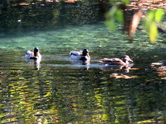 Dion duck pond (jimsawthat) Tags: wildlife ducks mallard birds pond dion greece