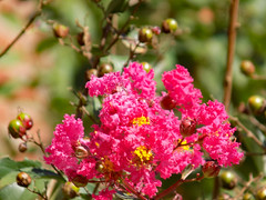 Pink Crape Myrtle. (dccradio) Tags: lumberton nc northcarolina robesoncounty outdoor outdoors outside leaf leaves greenery bloom blooming blossom blossoming flower floral flowers pretty crapemyrtle crepemyrtle latesummer earlyautumn earlyfall plant flowering floweringtree wednesday morning goodmorning nikon coolpix l340 bridgecamera bokeh nature natural