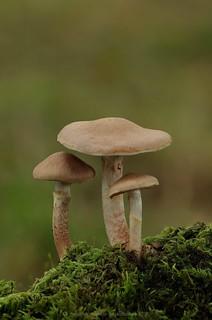 Cortinarius spilomeus 16 stack