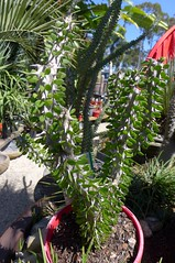 Allaudia procera (tanetahi) Tags: succulent madagascan allaudia allaudiaprocera didiereaceae ocotillo tanetahi