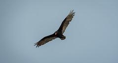 Vulture looking for a snack (tony p photos) Tags: tony p photos d500 nevada nikon reno ocean tonypphotos newport oregon unitedstates us pacificcoast