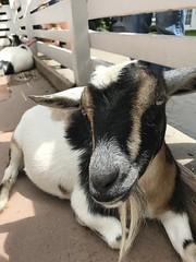 Little goat (f l a m i n g o) Tags: farm cute goat animal explore