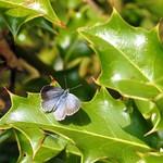Holly blue Female (Summer Brood) thumbnail