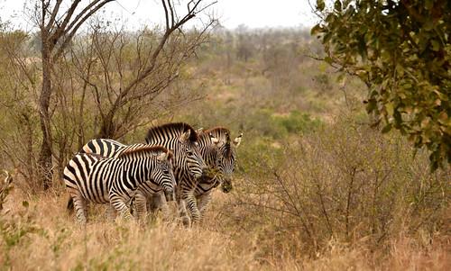 NKB_4789_Zebra