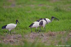 Ibisi _002 (Rolando CRINITI) Tags: ibis uccelli uccello birds ornitologia castellapertole natura