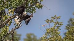 Bald eagle takeoff (flintframer) Tags: indiana bald eagle flight wow nature wildlife raptors harrison county ohio river dattilo canon eos 7d markii ef600mm