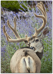 Itch (ctofcsco) Tags: 1320 400mm buck canon colorado coloradosprings deer didnotfire ef100400mmf4556lisusm eos50d esplora evaluative explore f63 flashoff iso640 male muledeer 2018 bokeh explored geo:lat=3893083779 geo:lon=10489145279 geotagged gleneyrie nature northamerica telephoto wildlife photo pic pretty renown shutterspeedpriorityae unitedstates usa